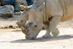 Ρινόκερος μητέρων και μωρών Στοκ φωτογραφίες με δικαίωμα ελεύθερης χρήσης