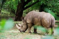 Ρινόκερος πίσω από το φύλλωμα, Mysuru στοκ φωτογραφία