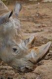 ρινόκερος πορτρέτου στοκ εικόνα με δικαίωμα ελεύθερης χρήσης