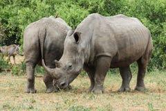 Ρινόκερος που απολαμβάνει κάποια πράσινη χλόη στοκ φωτογραφίες