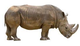 Ρινόκερος που απομονώνεται στο άσπρο υπόβαθρο Στοκ Εικόνες
