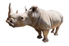Ρινόκερος που απομονώνεται στο άσπρο υπόβαθρο Στοκ εικόνα με δικαίωμα ελεύθερης χρήσης
