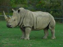 Ρινόκερος που εξετάζει όπως το δεινόσαυρο το ζωολογικό κήπο Στοκ φωτογραφία με δικαίωμα ελεύθερης χρήσης
