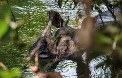 Ρινόκερος που παίρνει ένα λουτρό στον ποταμό Στοκ φωτογραφία με δικαίωμα ελεύθερης χρήσης