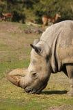 Ρινόκερος που τρώει τη χλόη στοκ εικόνες