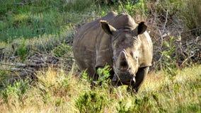 Ρινόκερος στην άμυνα Στοκ εικόνα με δικαίωμα ελεύθερης χρήσης