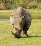 Ρινόκερος στις άγρια περιοχές Στοκ Φωτογραφία