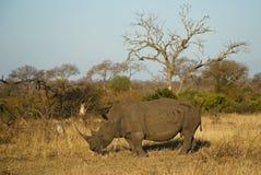 Ρινόκερος στο αφρικανικό περιβάλλον Στοκ φωτογραφίες με δικαίωμα ελεύθερης χρήσης