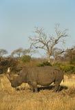 Ρινόκερος στο αφρικανικό περιβάλλον Στοκ Φωτογραφίες