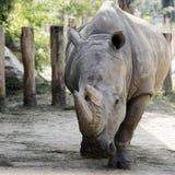 Ρινόκερος στο ζωολογικό κήπο Στοκ εικόνα με δικαίωμα ελεύθερης χρήσης