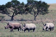 Ρινόκερος τρία που οργανώνεται πέρα από την αφρικανική σαβάνα, ρινόκερος, εθνικό πάρκο Kruger Στοκ εικόνα με δικαίωμα ελεύθερης χρήσης