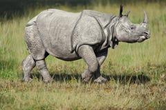 ρινόκερος χλόης στοκ φωτογραφίες