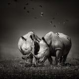 Ρινόκερος δύο με τα πουλιά στο bw Στοκ Φωτογραφίες