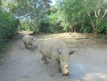 ρινόκερος δύο Στοκ Εικόνα