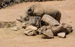 Ρινόκερος Στοκ φωτογραφίες με δικαίωμα ελεύθερης χρήσης