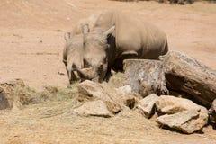 Ρινόκερος Στοκ εικόνες με δικαίωμα ελεύθερης χρήσης