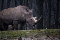 ρινόκερος Στοκ εικόνα με δικαίωμα ελεύθερης χρήσης