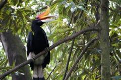 Ρινόκερος Hornbill της Μαλαισίας Στοκ Εικόνες
