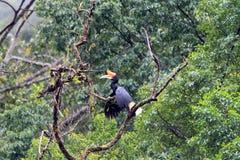 Ρινόκερος hornbill Στοκ Φωτογραφία