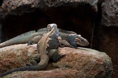 ρινόκερος iguana που ρίχνει το στοκ εικόνες