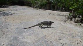 Ρινόκερος Iguana που τρέχει πέρα από το δρόμο απόθεμα βίντεο