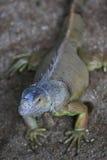 ρινόκερος iguana Στοκ φωτογραφία με δικαίωμα ελεύθερης χρήσης