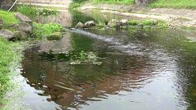 Ροή του νερού ρευμάτων ποταμών μεταξύ των πετρών στο πάρκο 4K απόθεμα βίντεο