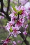 ροδάκινο λουλουδιών ανθών Στοκ Φωτογραφίες
