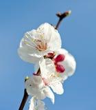 ροδάκινο λουλουδιών Στοκ φωτογραφίες με δικαίωμα ελεύθερης χρήσης
