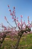 ροδάκινο λουλουδιών Στοκ Φωτογραφίες