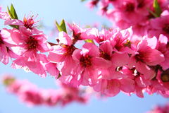 ροδάκινο λουλουδιών Στοκ εικόνες με δικαίωμα ελεύθερης χρήσης