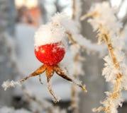 Ροδαλό ισχίο κάτω από το χιόνι Στοκ Εικόνες