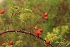 Ροδαλό ισχίο στο πάρκο στο φθινόπωρο Στοκ Εικόνες