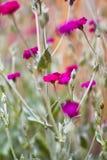 ροδανιλίνης άγρια περιοχές λουλουδιών Στοκ Φωτογραφίες