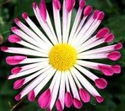 ροδανιλίνης άσπρος κίτριν&o Στοκ εικόνες με δικαίωμα ελεύθερης χρήσης