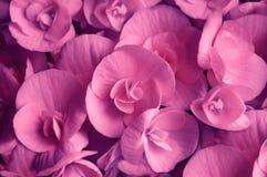 Ροδανιλίνης κόκκινη ανθίζοντας begonia κινηματογράφηση σε πρώτο πλάνο λουλουδιών Στοκ εικόνα με δικαίωμα ελεύθερης χρήσης