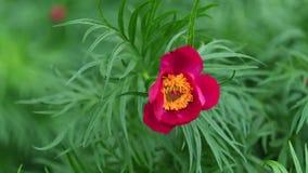 Ροδανιλίνης κόκκινο λουλούδι του αερακιού Peony Paeonia Anomala την άνοιξη, 4K φιλμ μικρού μήκους