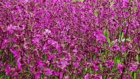 Ροδανιλίνης λουλούδια και bumblebees απόθεμα βίντεο