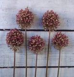Ροδανιλίνης λουλούδια κρεμμυδιών στο άσπρο ξύλινο υπόβαθρο στοκ φωτογραφίες με δικαίωμα ελεύθερης χρήσης