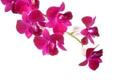 ροδανιλίνης orchid πορφυρός μί&sigma Στοκ Φωτογραφία