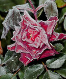 ροδανιλίνη λουλουδιών Στοκ Φωτογραφίες