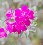 ροδανιλίνη λουλουδιών στοκ φωτογραφίες με δικαίωμα ελεύθερης χρήσης
