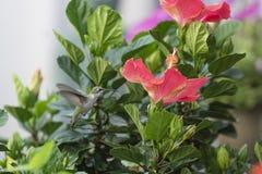 Ροδοκόκκινος-το κολίβριο που πετά στον κήπο στοκ εικόνες