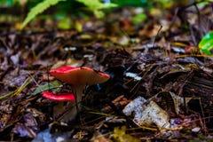 Ροδοκόκκινο μανιτάρι Bolete στο δάσος στοκ φωτογραφίες με δικαίωμα ελεύθερης χρήσης