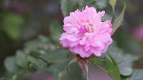 Ροζέτα στον αέρα απόθεμα βίντεο