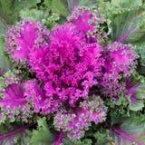 Ροζέτα του πορφυρού κατσαρού λάχανου Στοκ Εικόνα