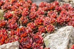 Ροζέτα - arachnoideum Sempervivum - κόκκινο Papaver Στοκ Εικόνες