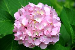 Ροζ - άσπρο hydrangea Στοκ Εικόνα