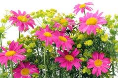 ροζ ανασκόπησης camomiles Στοκ φωτογραφίες με δικαίωμα ελεύθερης χρήσης