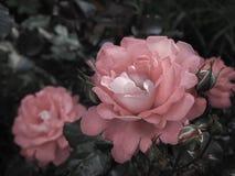 Ροζ ανθίσεις σε ένα πράσινο ηλιόλουστο υπόβαθρο Τριαντάφυλλα για την ανθοδέσμη λουλούδια καρτών ανασκόπησης που χαιρετούν τον καθ Στοκ Εικόνα